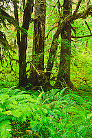Sord Ferns and Bigleaf Maples in the Hoh Rain Forest.  Olympic National Park, Washington.