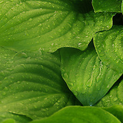 """""""Folds of Green""""<br /> <br /> Beautiful folds of green in these lovely hosta leaves covered in raindrops!"""