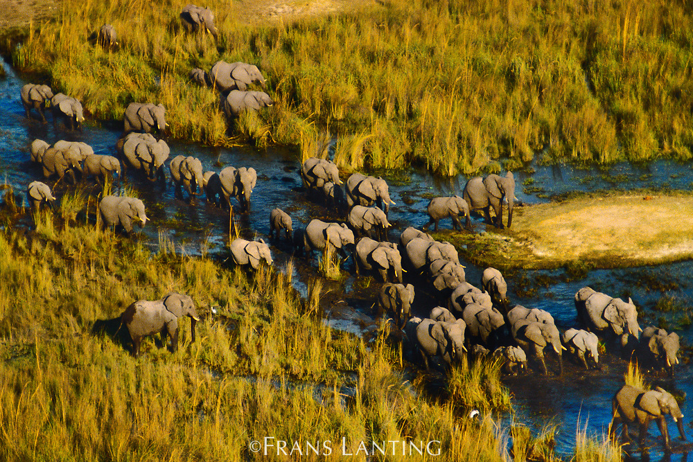 African elephants crossing swamp, Okavango Delta, Botswana