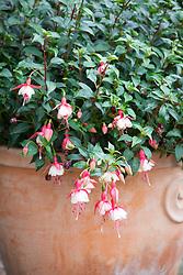 Fuchsia 'Patio Princess'