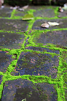 Green moss grows through the brickword walls of the My Son Sanctuary in central Vietnam