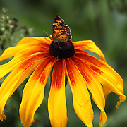 An American Painted Lady Butterfly, with folded wings feeding on a Balack-eyed Susan flower. Lord Stirling Environmental Center, Basking Ridge, Somerset County, New Jersey, USA