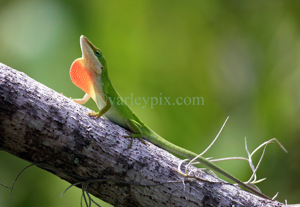 01 June 2015. Jean Lafitte National Historic Park, Louisiana.<br /> A green Anole lizard in the swamp at the Barataria Preserve wetlands south or New Orleans.<br /> Photo&copy;; Charlie Varley/varleypix.com