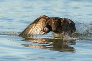 Male Long-tailed Duck (Clangula hyemalis)
