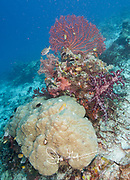 Colorful Gorgonian atop a colorful reef filled with hard and soft corals in Raja, Ampat, Indonesia.