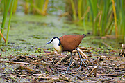 African Jacana.Actophilornis africanus.Polokwane Bird Reserve.Pietersburg, Limpopo Province,.South Africa.11 January 2006