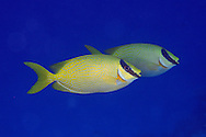 Pair of masked rabbitfish, Siganus puellus, swimming in mid-water, Ailuk atoll, Marshall Islands, Pacific