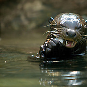 A closeup of an otter eating fish.