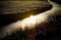 Reeds, North Norfolk Coast, England, UK.