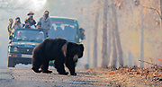 Sloth bear (Melurus ursinus) crossing the road in front of tourists. Tadoba NP, India in February 2016.