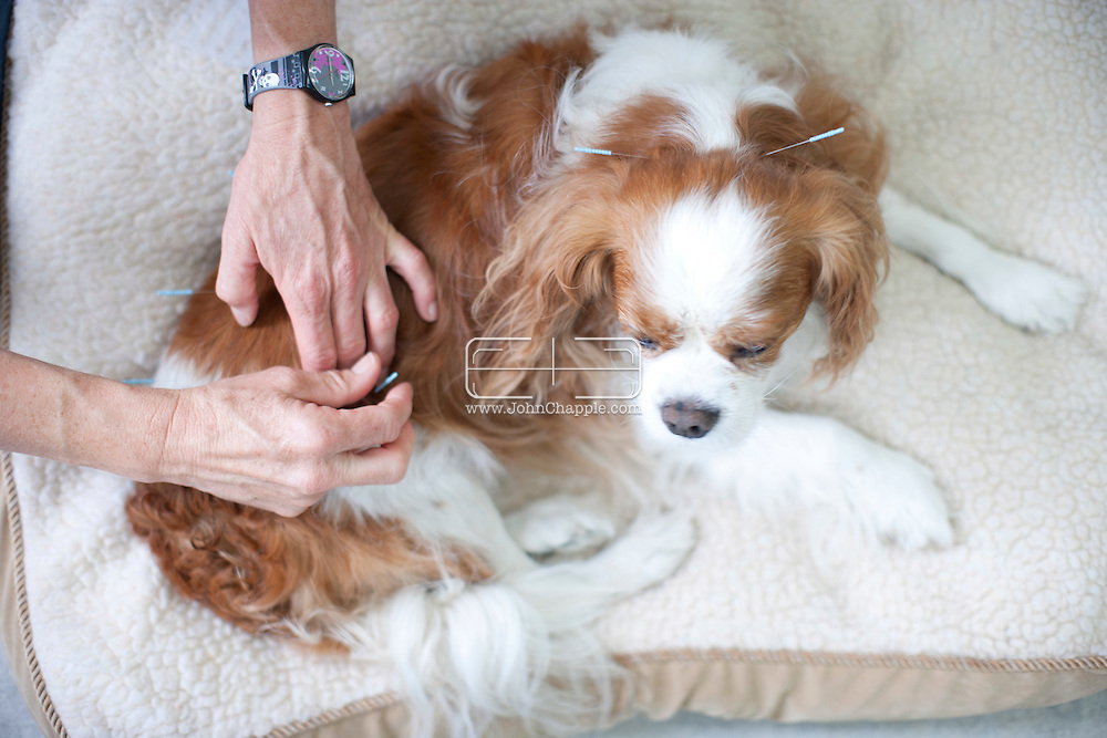 September 28th, 2011. Los Angeles, California. Canine rehab facility Two Hands Four Paws offers treatments like acupuncture, massage, and swim therapy for dogs. Pictured is Liza the Cavalier King Charles receiving acupuncture..© JOHN CHAPPLE / www.johnchapple.com