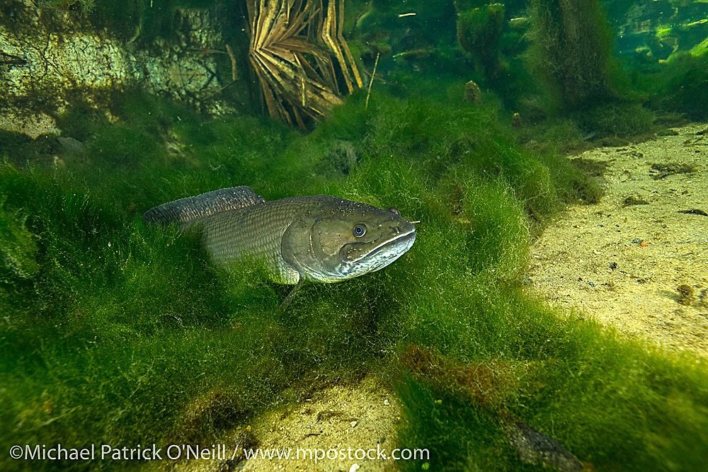 A Bowfin, Amia calva, a primitive fish, rests on the bottom of Blue Springs State Park near Deltona, Florida.