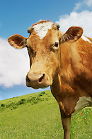 Brown cow in field