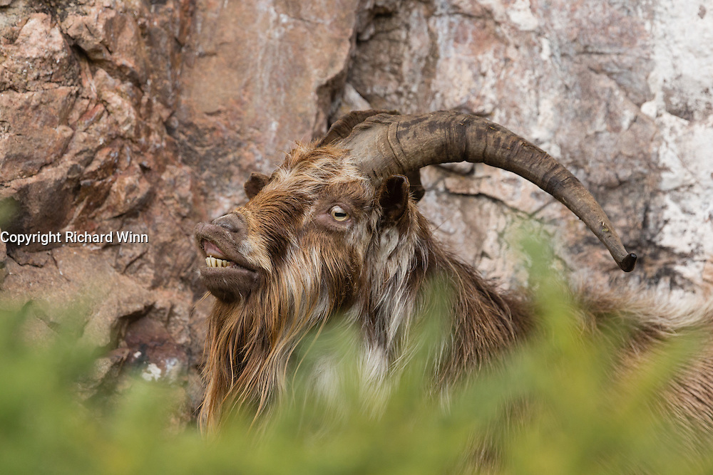 Goat sheltering from the rain in a disused quarry, exhibiting a Flemen response.