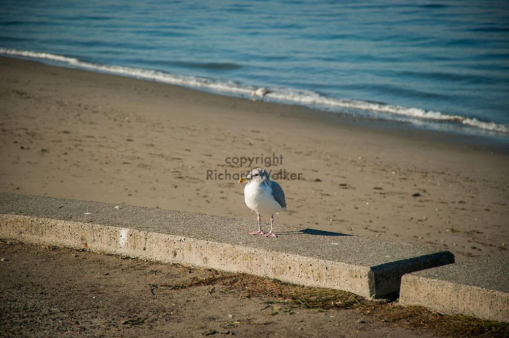 2017 NOVEMBER 06 - Seagull on Alki Beach, Seattle, WA, USA. By Richard Walker