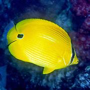 Andman Butterflyfish inhabit reefs. Phicture taken Andaman Sea, Thailand.