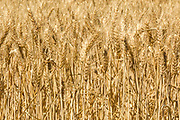 Heads of golden barley in a field before harvesting in rural Dumosa, Victoria, Australia.