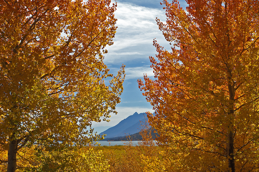 Two blazing aspens frame this view of the Grand Tetons and Jackson Lake. Viewing these aspens has become so popular during fall,that a new pullout was added to allow passersby to enjoy them.
