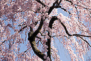 tree in full cherry blossom bloom