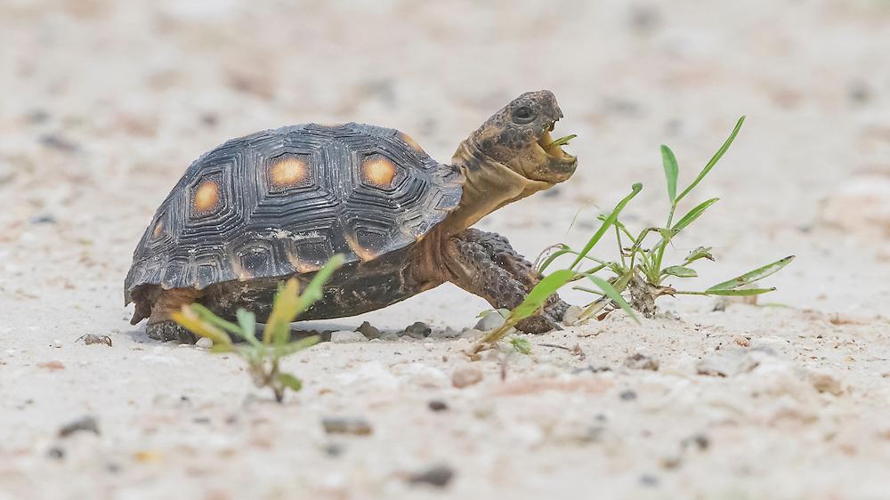 Texas Tortoise, Gopherus berlandieri;<br /> Photographer:  Cissy Beasley<br /> Property:  Twin Oaks Ranch / Lon Cartwright Family <br /> Live Oak County