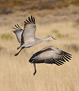 A pair of Sandhill Cranes in flight at Bosque del Apache NWR with their wings in opposite sync