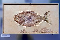 15.03.2016, Museum fuer Naturkunde, Berlin, GER, Naturkundemuseum Berlin, im Bild Versteinerung eines Kugelzahnfisches (Mesturus verrucosus) // Exhibits in the Natural History Museum Museum fuer Naturkunde in Berlin, Germany on 2016/03/15. EXPA Pictures © 2016, PhotoCredit: EXPA/ Eibner-Pressefoto/ Schulz<br /> <br /> *****ATTENTION - OUT of GER*****