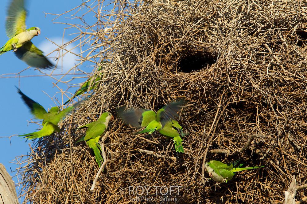 Monk Parakeet (Myiopsitta monachus), Pantanal, Brazil