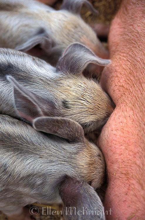 Piglets Nursing