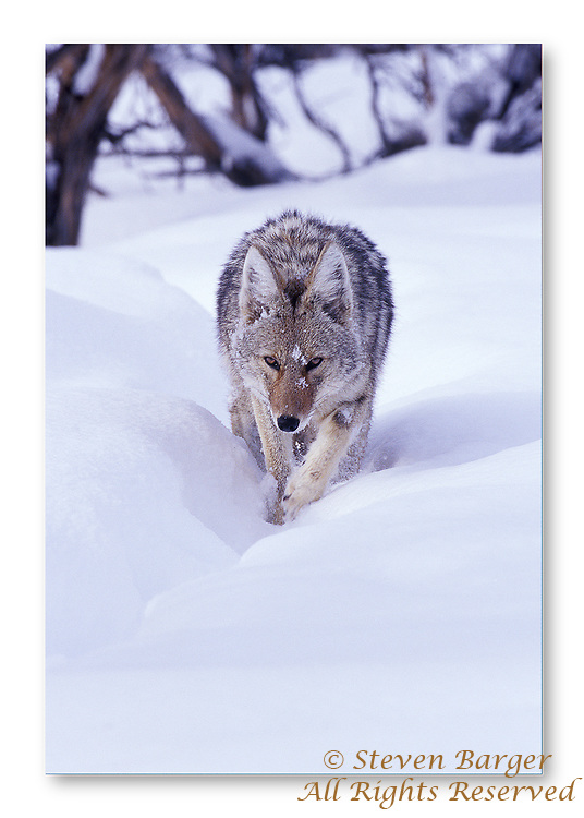 Coyote with snow on its face walking out of a patch of sagebrush in Yellowstone National Park Wyoming.