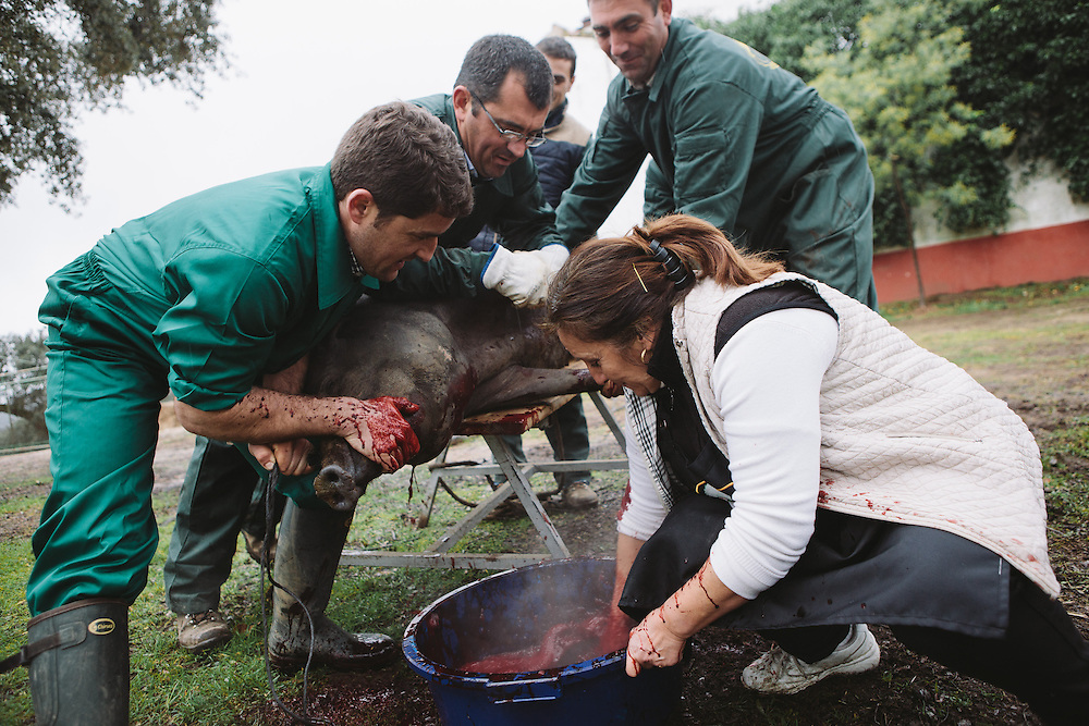 An Iberico pig with its thoat slit is slaughtered . The blood is caught in a bucket and stirred to prevent it from clotting. The blood is then used to Morcilla. Finca Al Cornocal, Extramadura (Barajoz Province), Spain.