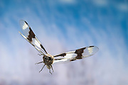 A male eight-spotted skimmer dragonfly (Libellula forensis) in flight, photographed with a high-speed camera system in the coastal mountains of Oregon, near Florence.