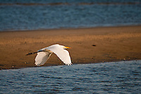 New York, Long Island - egret flying along the shore at sunset.