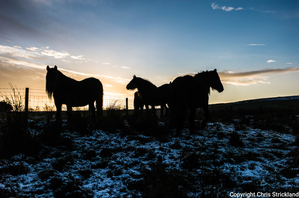 Towford, Jedburgh, Scottish Borders, UK. 8th December 2014. Fell ponies grazing.
