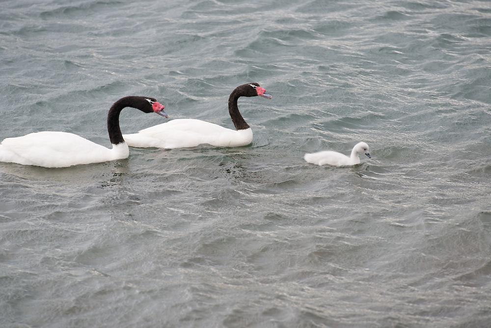 Black-necked swan family