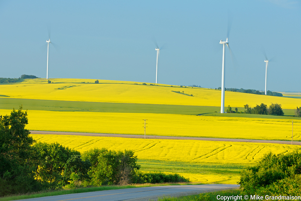 Canola and wind turbines, Saint Leon, Manitoba, Canada