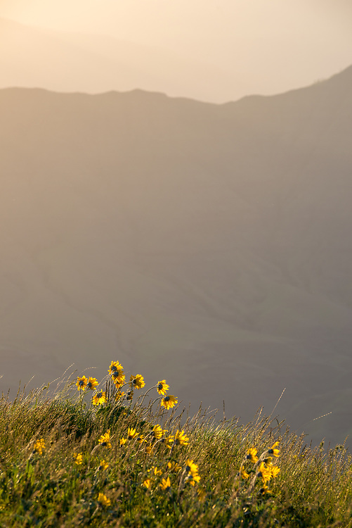 Wildflowers at the edge of Hells Canyon, Oregon.