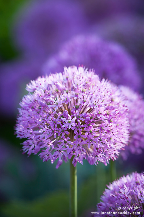 Allium hollandicum
