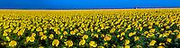 Sunflower fields, Schields & Sons Farm near Goodland, Western Kansas USA.