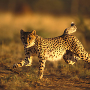 Cheetah running. Cheetah's have a flexible spine, oversized liver, enlarged hart, wide nostrils and an increased lung capacity. Covering 7-8 meters in a stride they reach a top speed of 70 mph (110mph). Cheetah. Cheetahs are Africa's most endangered cat, less than 15,000 remain in 26 African countries, and less than 50 found in Iran, the last of the Asian cheetah. Namibia is the Cheetah Capital of the World with approximately 3,000 free-ranging individuals of which 95% are outside protected areas on commercial livestock and game farms, resulting in conflict with humans