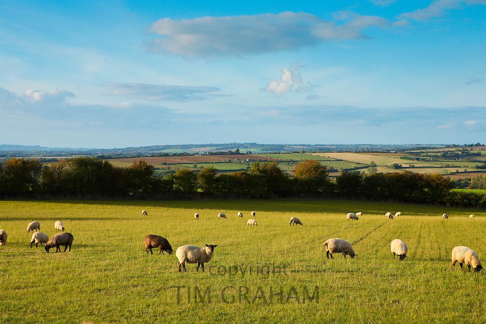 Sheep grazing in Oxfordshire, United Kingdom