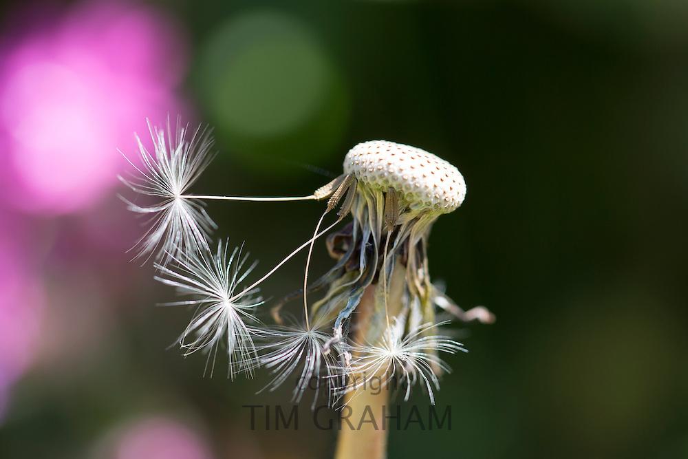 Seed head seed dispersal of Dandelion, Taraxacum officinale - dandelion clock in summertime in Cornwall, UK