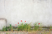 wild red poppy seed flowers against a cement wall