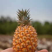 Guanmiao_Pineapple_Cultivation