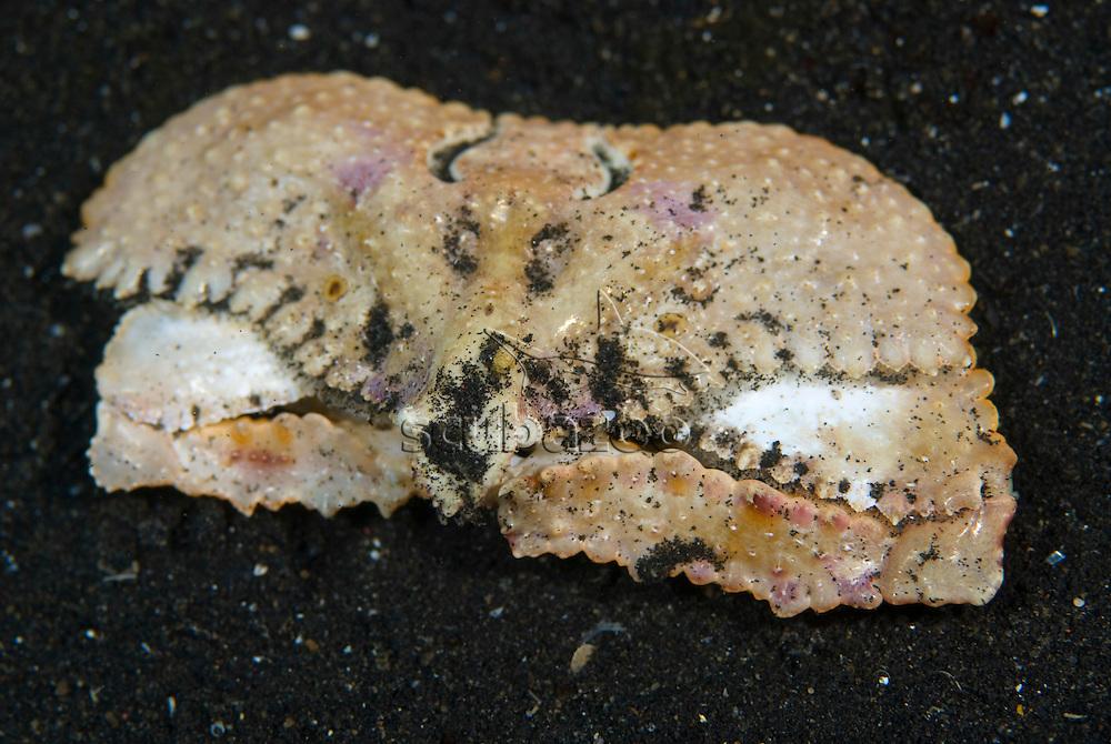 Elbow Crab, Cryptopodia sp, KBR, Lembeh Strait, Sulawesi, Indonesia.
