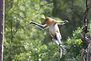 Proboscis Monkey<br /> Nasalis larvatus<br /> Leaping<br /> Sabah, Malaysia