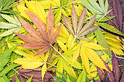 Marijuana leaves on the ground in autumn.