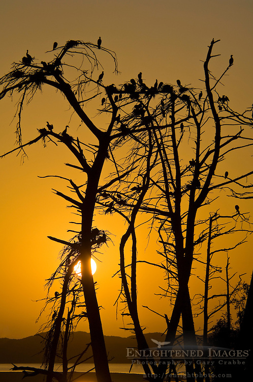 Heron and Cormorant nests in trees at sunset at Bird Rookery in Morro Bay State Park, Morro Bay, California