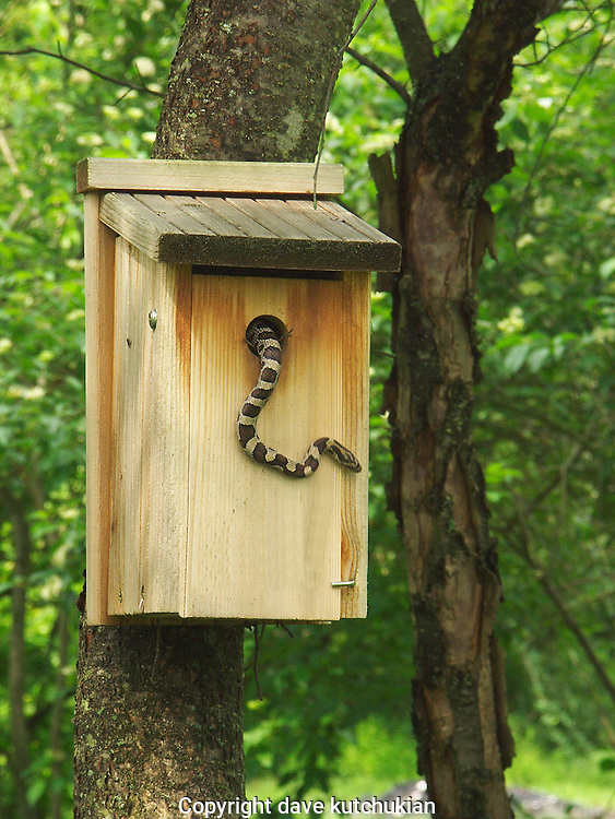 the milk snake raids a bird house of wrens.