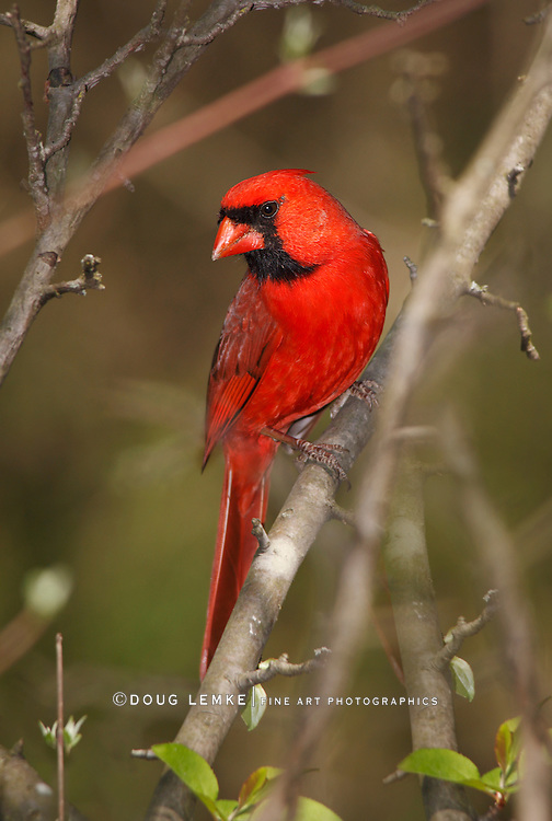A Red Bird, The Northern Cardinal Male Framed By Twigs And Branches, Cardinalis cardinalis