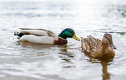 THEMENBILD - zwei Enten schwimmen im Zeller See, aufgenommen am 31.Maerz 2015, am Zeller See, Zell am See, Oesterreich // two ducks swimming in Lake Zell, Zell am See, Austria on 2015/03/31. EXPA Pictures © 2015, PhotoCredit: EXPA/ JFK